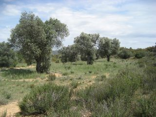 Rural plot in Batea. Finca de olivos